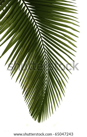 Green palm tree isolated on white background,professional process from 16bit RAW and Prophoto RGB color profile used for output JPG file - stock photo