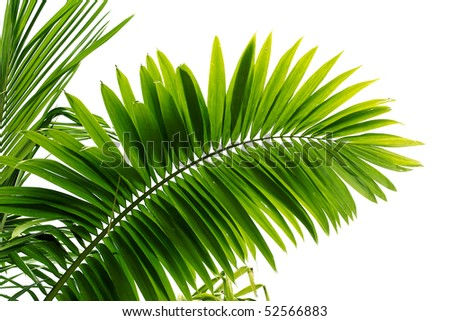 Green palm tree leaf on white background - stock photo