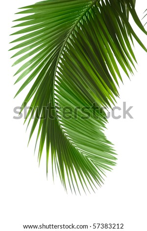 Green palm tree on white background - stock photo
