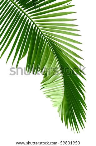 Green palm tree on white background - stock photo