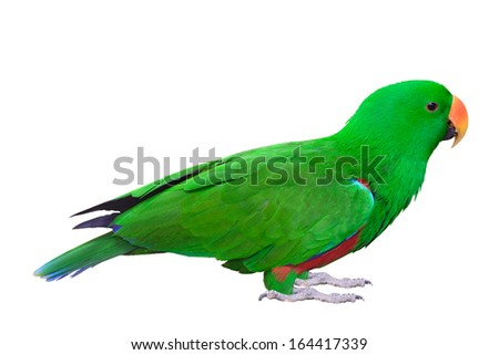 Green Parakeet  parrot isolated on white background - stock photo