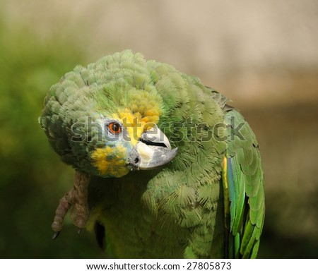 Green parrot closeup view of head