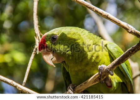 Green parrot in foliage close up