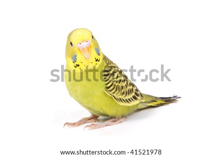 Green parrot isolated on a white background - stock photo