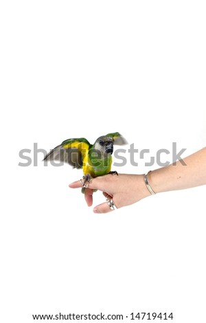 green parrot landing on a human finger - stock photo
