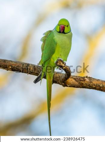 Green parrot (Ringnecked Parakeet) - stock photo