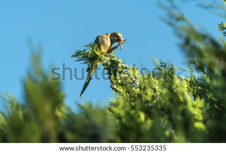Green parrot, standing on a tree branch