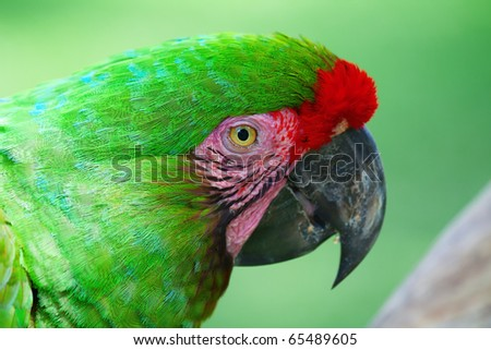 Green Parrot with red feathers (Military maccaw)