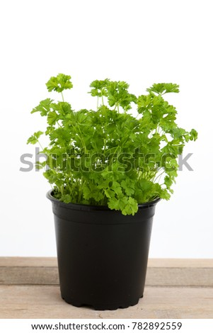 green parsley in a pot with white background