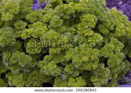 Green parsley in the garden - stock photo