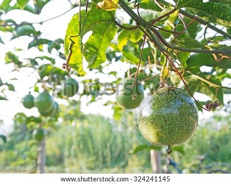 Green passion fruits in day light. - stock photo