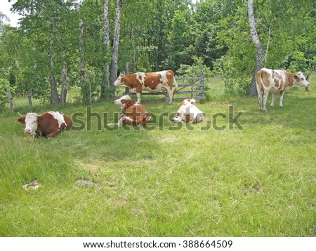 Green pasture, birch  forest and cows  - stock photo