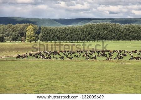 Green pasture on plains of Waikato region, New Zealand. Cattle herd. - stock photo
