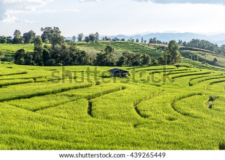 Green patchwork rice field and the house