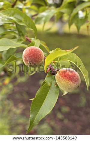 Green peach fruits growing on a peach tree branch. Selective focus with shallow depth of field. - stock photo