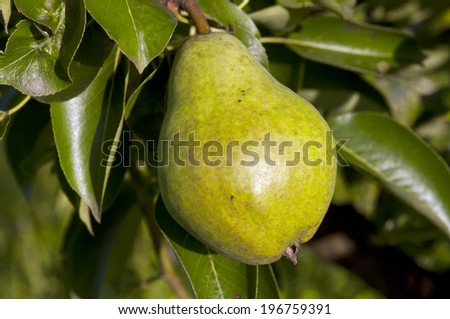 green pear hanging on a tree with leaves in the background