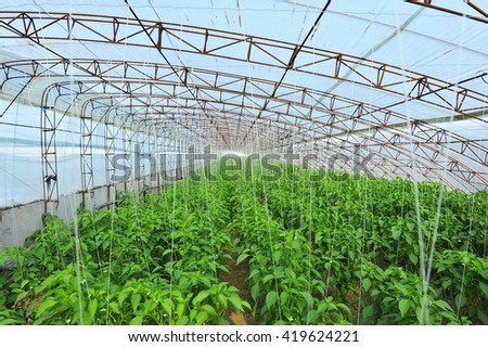 Green pepper in greenhouses