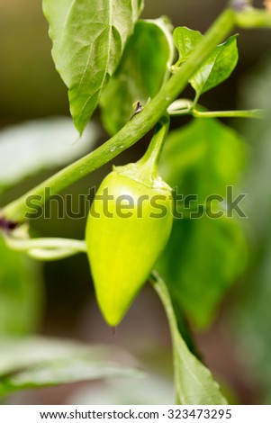 green pepper in the garden