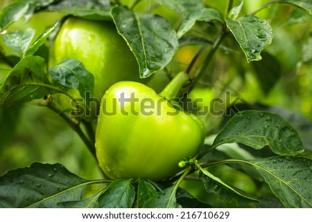 Green pepper plant in the garden close up - stock photo