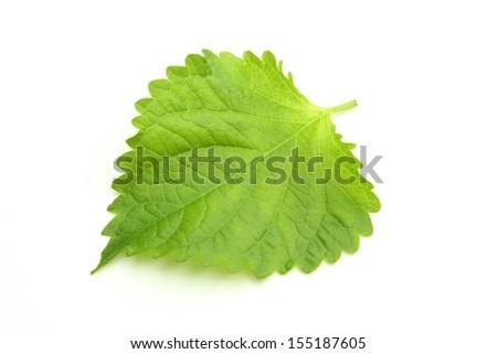 Green Perilla - stock photo