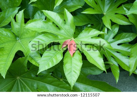 Green philodendron leaves - stock photo
