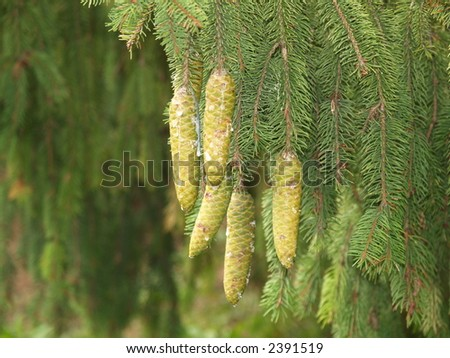 green pine cones - stock photo