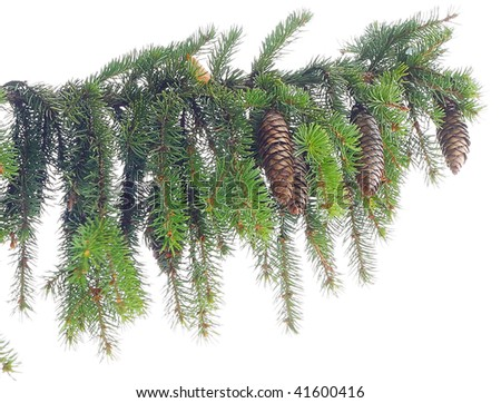 Green pine's branch isolated on white - stock photo