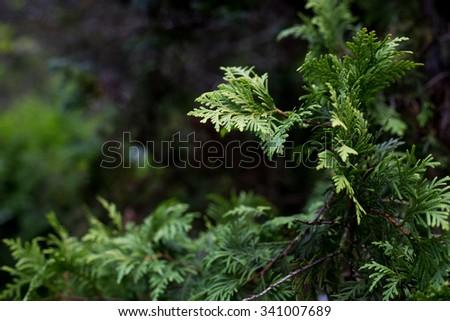 Green Pine - Tree - stock photo