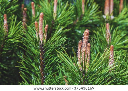 Green pine tree background with fresh buds at spring - stock photo