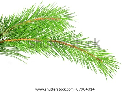 Green pine tree branch isolated on the white - stock photo