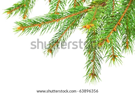 Green pine tree branches isolated on white background - stock photo