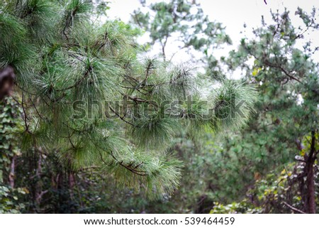 Green pine tree in a national park.