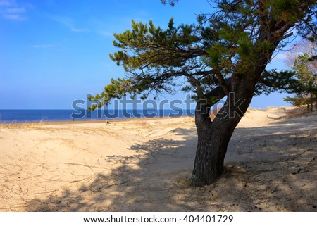 Green pine tree in the yellow sand dunes of the Baltic Sea on the background of blue sea and blue sky - stock photo