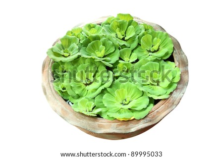 Green pistia stratiotes in pottery on white background.