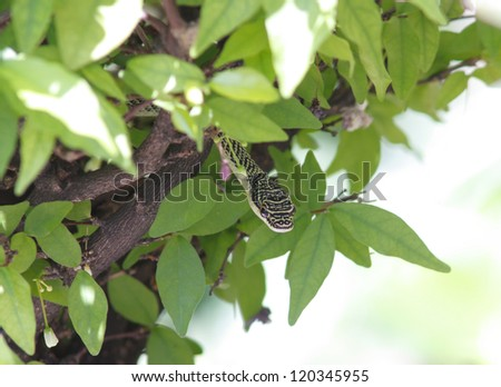 green pit viper - stock photo