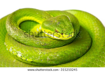 Green pit viper(Asian pit viper) isolated on white - stock photo