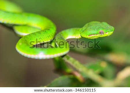 Green pit viper snake, Asian pit viper snake in nature - stock photo