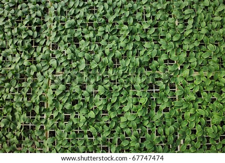 Green plant background. Young pepper. - stock photo