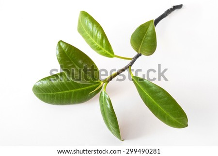 Green plant - little ficus