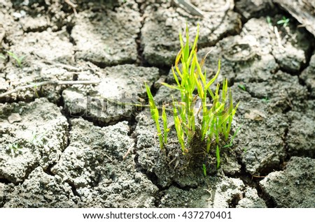 Green plant only one on soil arid, Cracked dried ground, Water shortage, Global warming, Water scarcity, Water crisis. - stock photo