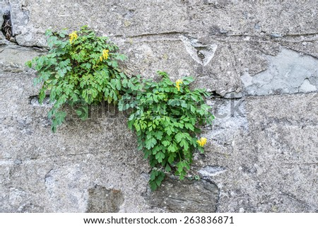 Green plant that makes its way through the old wall. - stock photo