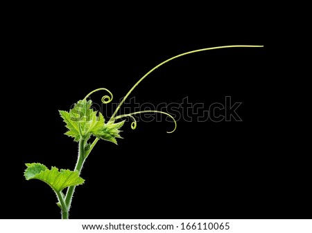 Green plant twig with leaves and tendrils on black background - stock photo