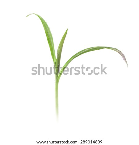 Green plant with dew drops - stock photo