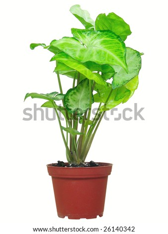 Green plant with streaks on leaves isolated over white - stock photo