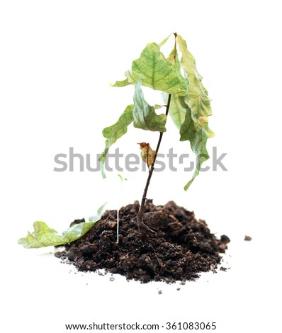 green plant withered, death of growth, dead plant - stock photo
