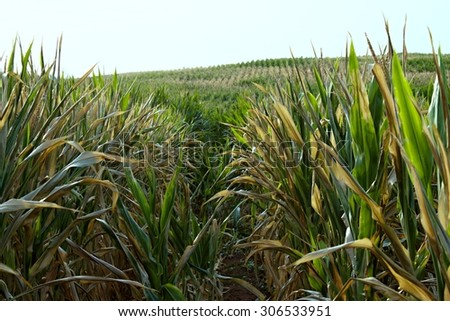 green plants of corn on the field