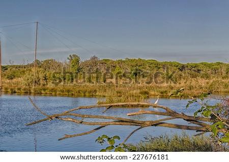 Green plants, weeds, floating dark algae, moss and white stork on the muddy brownish water of the Pialassa della Baiona brackish lagoon near Marina Romea along the  Adriatic seaside in Ravenna (Italy) - stock photo