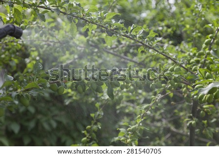 Green plum branches with immature fruit under the spray of pesticides. - stock photo