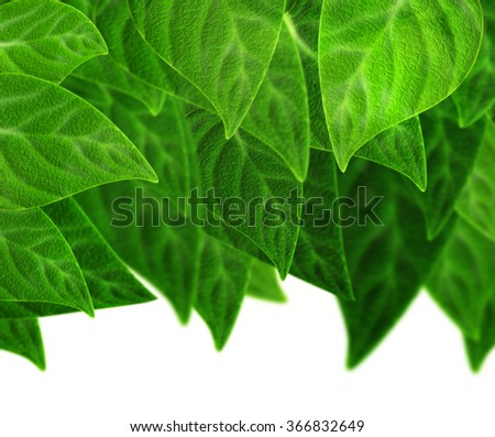Green plum leaf and sun light spring time background. Beautiful sunny day with bunch of green plum foliage isolated on white. Eco concept of plums tree branch in the garden on spring summer day. - stock photo