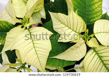 green poinsettia for background uses - stock photo